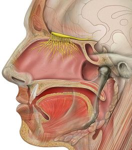 527px-Head_olfactory_nerve[1]