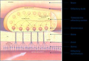 olfactory%20ephithelium[1]